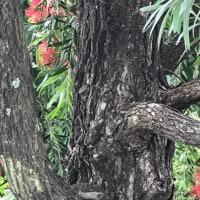 ブラシノキ 樹皮