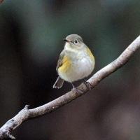 1/21探鳥記録写真-2(瀬板の森の小鳥たち:メジロ、ジョウビタキ、ルリビタキ他)