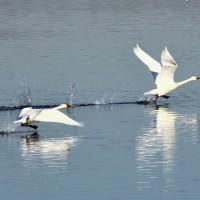 大寒波の来た日に白鳥たちと遊ぶ