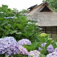 郷土の森、紫陽花と建物