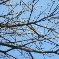命の梅の木