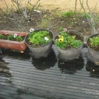 久しぶりの雨と パンジーの花