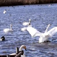 菅生沼の白鳥たち 2017-01-17 上沼にて コハクチョウ 真鴨 越冬隊 飛来 渡り鳥 オオハクチョウ