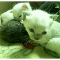 生後2週間目の子猫ちゃん