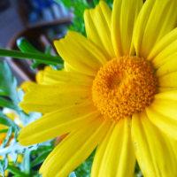 *春菊の花は、食べられません~(・∀・)♪