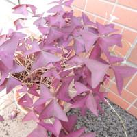 紫の舞(オキザリス・トリアングラリス、インカのカタバミ)