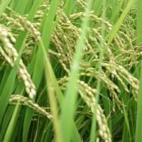 稲が順調に育っています