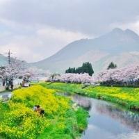 今日の由布岳 4/12 まだ桜しっかり咲いてました!