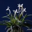 富貴蘭「和泉牡丹」の花