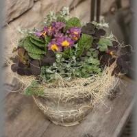 春を待つ花苗たち +ジュリアン パープル