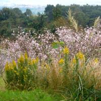 十月桜、咲き誇る秋。(10/20*木)