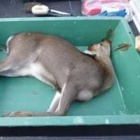 10月30日有害鳥獣捕獲「鹿」