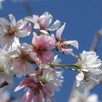 冬桜が咲いていました~♪