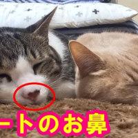 バレンタインにハートのお鼻はいかが?【猫日記こむぎ&だいず】2017.02.14