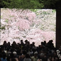 極楽浄土の桜