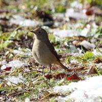 雪が積もった公園にルリビタキ 雌が来る。