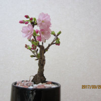 自宅の鉢植え「桜」が開花しました。