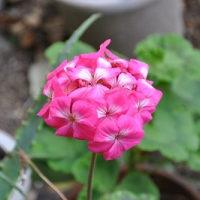 冬に咲くゼラニウム