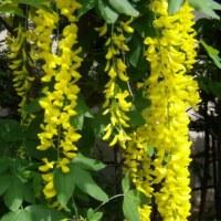 「おはようの花」 キングサリ(金鎖) 5月