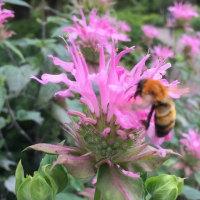 クマンバチの花