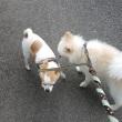 涼しい日ー久しぶりに二匹で散歩