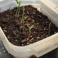 夏野菜の芽が出てきました