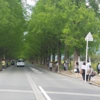 滋賀県マキノ町メタセコイア並木