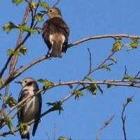 手賀沼 コムクドリ(小椋鳥) その2 ~雌雄の別~