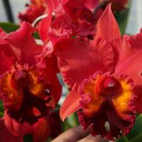 ◆Rlc. Carolina Splendor'Krull's Ruby'