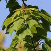 ハナノキの果実