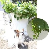 今年の葡萄