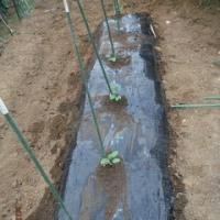 雨降らずでナス・インゲン定植少々できました