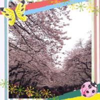 桜 2017