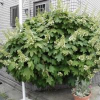 代々木上原の街角に咲く「カシワバアジサイ」