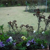 雨の中の パンジーとバラの新芽