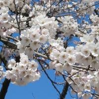 桜咲いています