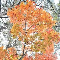 「見上げる紅葉」 福島県 裏磐梯 柳沼辺りにて撮影! 楓