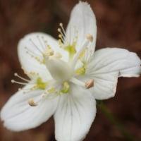 ウメバチソウの花