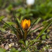 クロッカスが咲き始めた