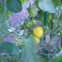 トマトが黄色くなりました。