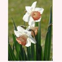 スイセン 〈カップ咲き、花弁色は白色・副冠花は橙〉