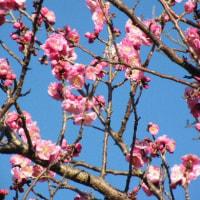 ピンクの小さな花ホトケノザと紅梅
