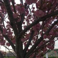ふわふわかわいい八重桜♡