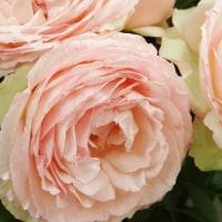 ピンクの薔薇ーーーpart2