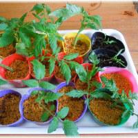 トマトの脇芽を挿し木に