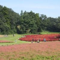 コキアと赤ソバの花で赤く染まる運動広場