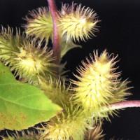 オタネ浜の花29イガオナモミ2