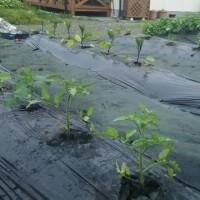 菜園の植付け