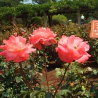 オレンジ色3つのバラ