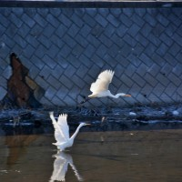 白鳥飛来(埼玉 ほぼ中央に位置する坂戸)2017.1.7